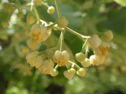 菩提樹 奥河内の延命寺に咲く