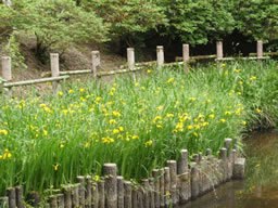 黄菖蒲、奥河内の延命寺を彩る