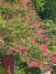 百日紅、奥河内の観心寺に咲く