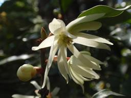 生きている劇物 奥河内の松林寺に咲く