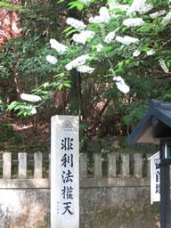 ウワミズ桜