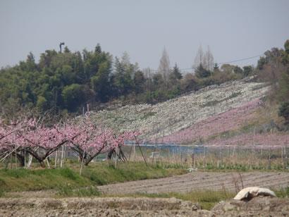 小山田の桃