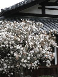シデコブシ、奥河内の観心寺に春を呼ぶ !!